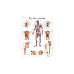 Charte Anatomique le Système Vasculaire