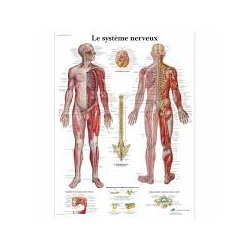 Charte anatomique Le Système Nerveux