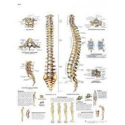 Charte anatomique La Colonne Vertébrale