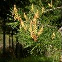 Huile essentielle Pin Sylvestre / Pinus Sylvestris Biologique